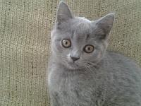 котенок, девочка, порода Британский короткошерстый-20140204_145633.jpg