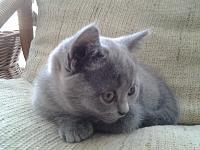котенок, девочка, порода Британский короткошерстый-20140204_145922.jpg